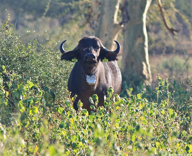 African Buffalo tagged and collared @ F. Jori